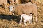 How Often Are Sheep Sheared?