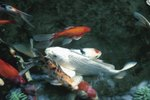 How Can You Help a Koi Carp That Has Popeye?
