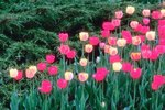 The Holland, Michigan, Tulip Festival