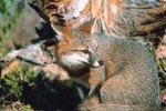 How Does the Grey Fox Get Its Food?