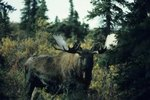 What Places on Earth Do Moose Live?