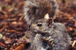 Do Squirrels Really Know Where They Bury Their Food?
