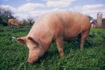 The Good & Poor Qualities About Duroc Pigs