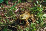 Why Does a Frog Close Its Eyes Before Swallowing?