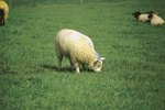 How to Help Sheep That Have Bloat