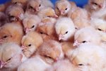 Care of Hatchling Chickens