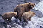 What Is the Average Land Speed of a Kodiak Bear?