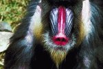 What Does the Mandrill Eat?