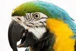 What Causes a Line Across a Parrot's Beak?