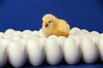 Where Does a Baby Chick Gets Its Food Inside the Egg?