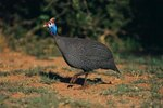 The Life Expectancy of Guinea Fowls