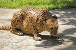 What Is the Cheetah's Food Web?