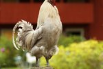 How to Stop a Rooster From Crowing