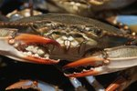 How to Raise Mud Crabs at Home