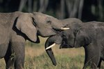 How Do Elephants Show Affection?