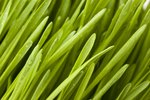 Does Wheatgrass Have Benefits for Dog Digestion?