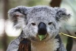 How Do Koalas' Stomachs Help Them?