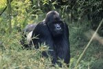 The Climate for Mountain Gorillas