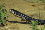 Venomous Snakes of Mozambique