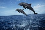 What Temperature of Water Do Dolphins Live In?
