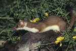 What Are Some Types of Weasels?