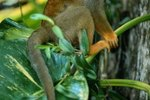 The Feeding Behavior of a Squirrel Monkey