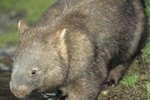 Common Wombat Mating Facts