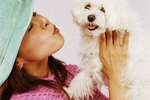 How to Get My Maltese Dog's Face Clean