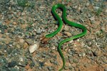 What Is the Difference Between a Rough Green & Smooth Green Snake?