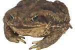 Poison Toads Found in the Northeast U.S.