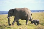 How Often Do Elephants Mate Per Year?