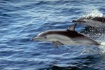 How Often Do Dolphins Come Up to Breathe?