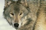 How Much Do Wolves Eat on Average?
