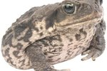 How to Tell a Male From a Female Eastern American Toad