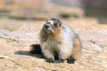 Marmots In California