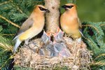How to Tell the Difference Between Male and Female Cedar Waxwings
