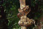 What Does the Boa Constrictor Look Like?