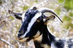 Why Do Billy Goats Smell So Bad?