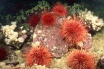 Sea Anemones Vs. Sea Urchins