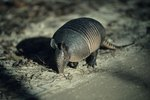 How to Make an Armadillo Trap Out of Wood