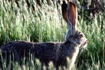 Types of Wild Rabbits in Texas