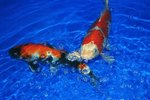 Diseases of Koi Fish That Cause Red Fins & Tails