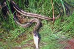 Nonpoisonous Snakes in Southwest Louisiana