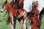 Normal Weights of Horse Foals at Birth