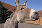 Donkeys & Mules for Pets