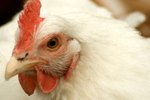 What Are the Treatments for Eye Worms in Chickens?