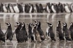 Magellanic Penguin Facts
