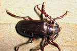 List of Dominating Coniferous Forest Insects