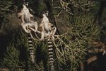 What Impact Have Humans Had on Ring-Tailed Lemurs?