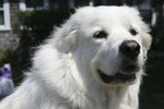 Great Pyrenees & Skin Problems